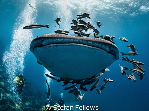 Right on the Kisser ... Whale Shark - Rhincodon typus. 