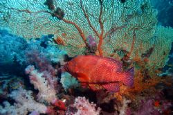 A nice Fan Coral backdrop. by Glenn Poulain