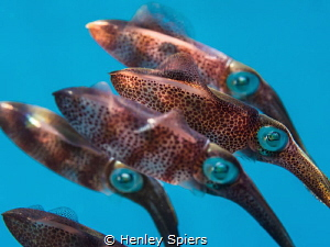 'The Line-Up' Juvenile Reef Squid stay close together ju... by Henley Spiers