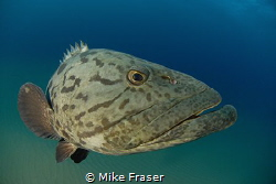 Potato bass, my favourite. by Mike Fraser