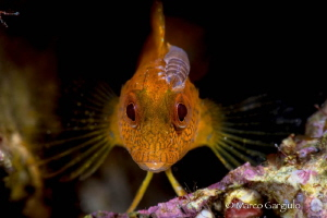 Yellow Blenny with parassite by Marco Gargiulo