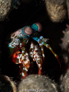 'The Watcher' Peacock Mantis Shrimp keeps a careful eye ... by Henley Spiers