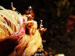 3 Squat Shrimps. Taken at Tulamben Area - Bali, using G16... by Ari Karyadi