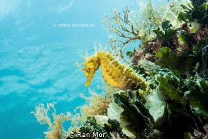 Yellow Sea Horse, Taken with E-M5 Mark 2 and 9-18mm lens ... by Ran Mor