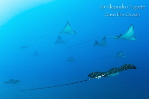 Eagle Ray Group, Acapulco Mexico by Alejandro Topete