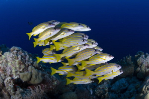 The small and tight shoal of bluestripe snappers. Palau. by Dmitry Starostenkov