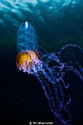 Jellyfish. Kongsfjord, Arctic Norway. by Toni Silvennoinen