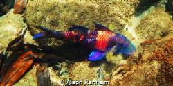 Pretty purple fish, Honolua Bay, Maui by Alison Ranheim