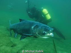 Big Head carp (Hypophthalmichthys nobilis) by Michal Kubík
