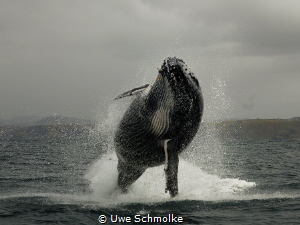 Humpback breaching by Uwe Schmolke