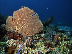 Wonderful coral fans at Menjangan Island by Olivier Notz