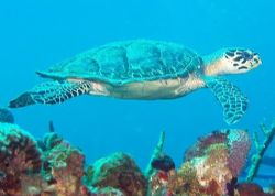 Turtle, over a hundred Carribean dives and the only one I... by Steve Laycock