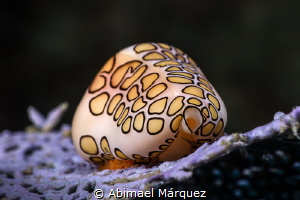 Flamingo Tongue by Abimael Márquez