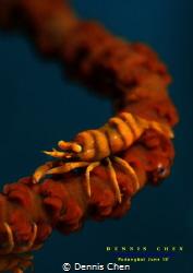 Whip Coral Shrimp - Pontonides ankeri by Dennis Chen