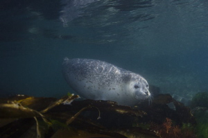 Spotted seal by Dmitry Starostenkov