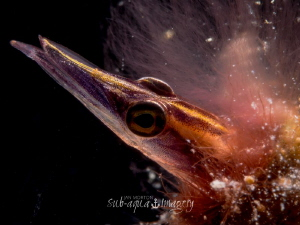 Arrow Blenny - Lucayablennius zingaro 