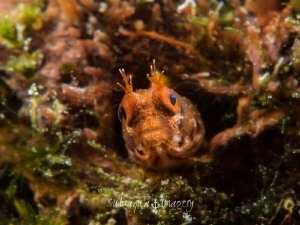 Roughhead Blenny - Acanthemblemaria aspera