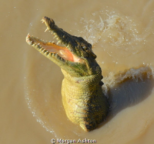 Saltwater crocodile. Adelaide River. Not really a dive si... by Morgan Ashton