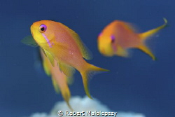 Anthias by Robert Malolepszy