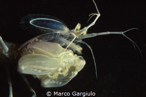Mediterranean mantis shrimp, night dive, nikon f100 fuji ... by Marco Gargiulo