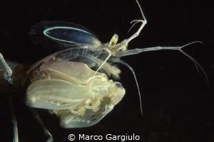 Mediterranean mantis shrimp, night dive, nikon f100 fuji ... by Marco Gargiulo