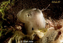 Juvenile Squid,taken @ Dumaguate Dauin.The guy was hiding... by Shah Aida