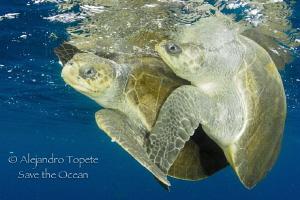 Turtle Mate, Puerto Vallarta Mexico by Alejandro Topete
