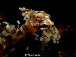 Harlequin Shrimp taken Dumaguate Dauin.Actually i missed ... by Shah Aida