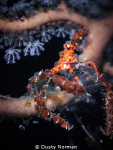 """""""Blending"""" A Neck Crab chilling in a Gorgonian. by Dusty Norman"""