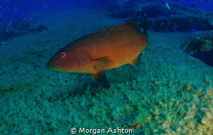 Coral trout at the Yongala