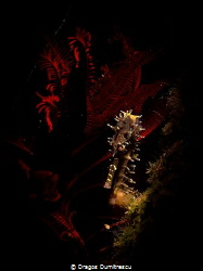Shy seahorse hiding in the feather star. Taken in Dauin, ... by Dragos Dumitrescu