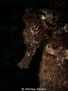 'Strange Beauty' A Longsnout Seahorse from St Lucia by Henley Spiers