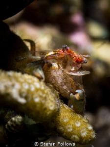 Oh mama! Porcelain Crab - Porcellanidae sp. Mae Haad, Tha... by Stefan Follows