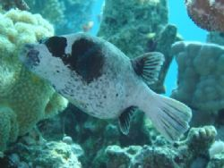 Masked puffer endemic to the Red sea. Photo was taken wit... by Anel Van Veelen