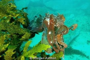 Cuttlefish off of Manly by Morgan Ashton
