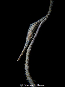 Here I stand ...Sawblade Shrimp - Tozeuma armatum. Sail R... by Stefan Follows