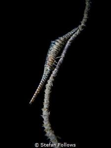 Here I stand ...Sawblade Shrimp - Tozeuma armatum. Sail R... by Stefan Follows
