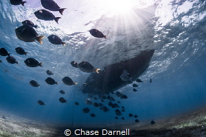"""""""Sunny Daze""""  A school of Blue Tang cruise under the boat. by Chase Darnell"""