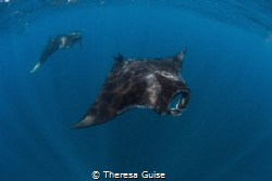 Manta Train / Mantas are plentiful and perform a magic da... by Theresa Guise