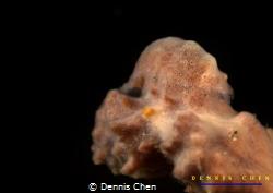 Master of camouflage Cryptic sponge shrimp Gelastocaris ... by Dennis Chen