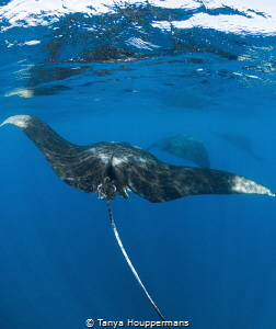 Get Your Mantas In A Row Three manta rays swim in a line... by Tanya Houppermans