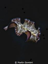 This flatworm came swimming at a night dive and there was... by Martin Gombrii