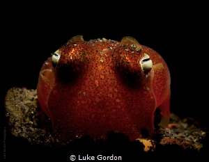 Tropical Bobtail Squid!!! by Luke Gordon