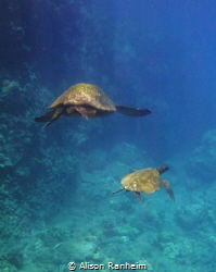 Big turtle, little turtle... Maui by Alison Ranheim