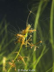 Hydra oligactis by Michal Kubík