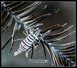 Crinoid shrimp in a feather star by Arno Enzo