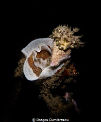 Nudibranch laying eggs, Canon G12, flash Inon S2000 by Dragos Dumitrescu
