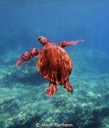 Turtle rising by Alison Ranheim