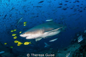 Lemon shark and lemon pilot fish/ A pregnant lemon shark ... by Theresa Guise