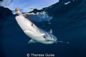 Testing the waters/A curious blue shark investigates dive... by Theresa Guise